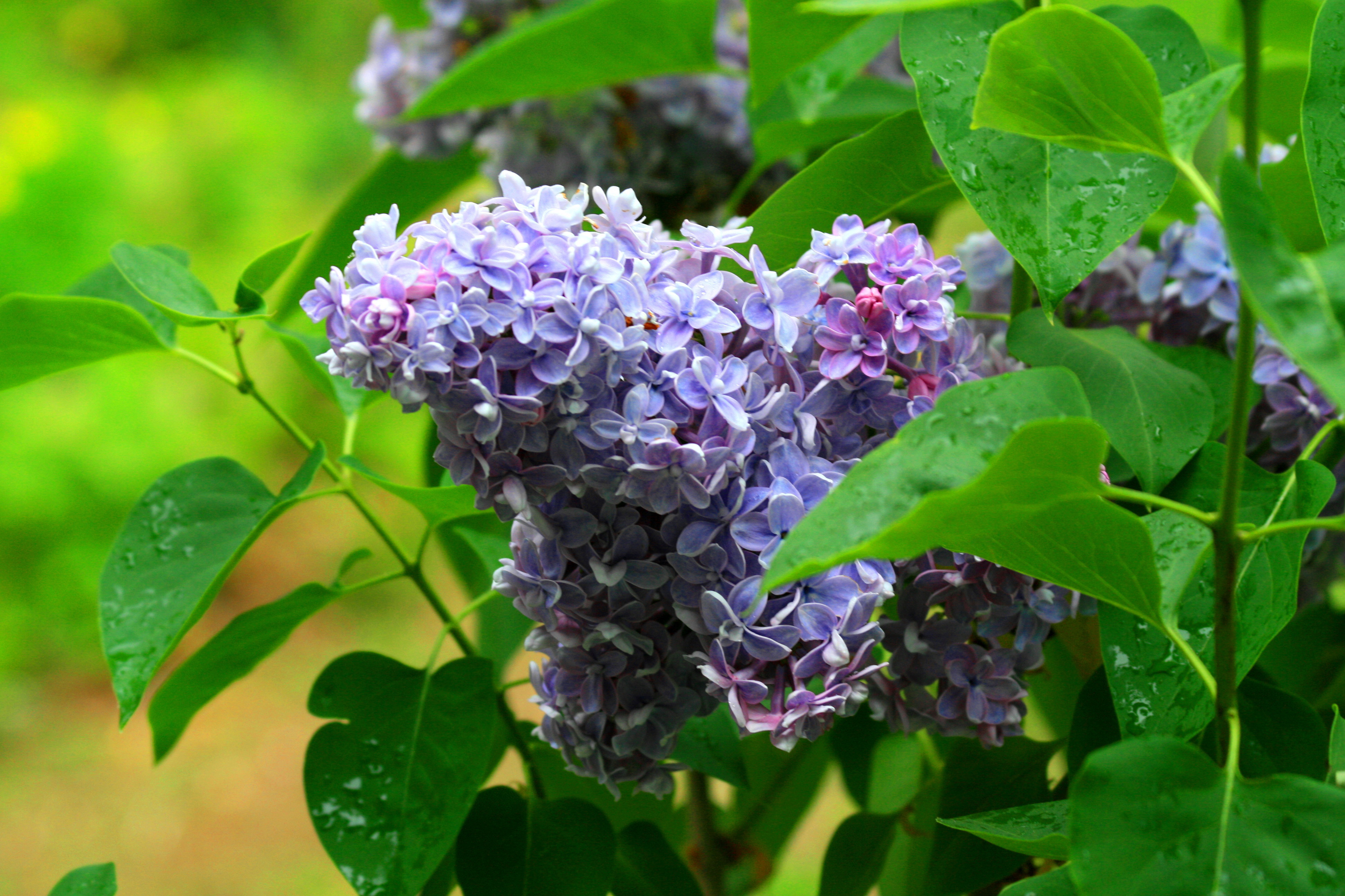 purple lilacs chris hungerford vermont